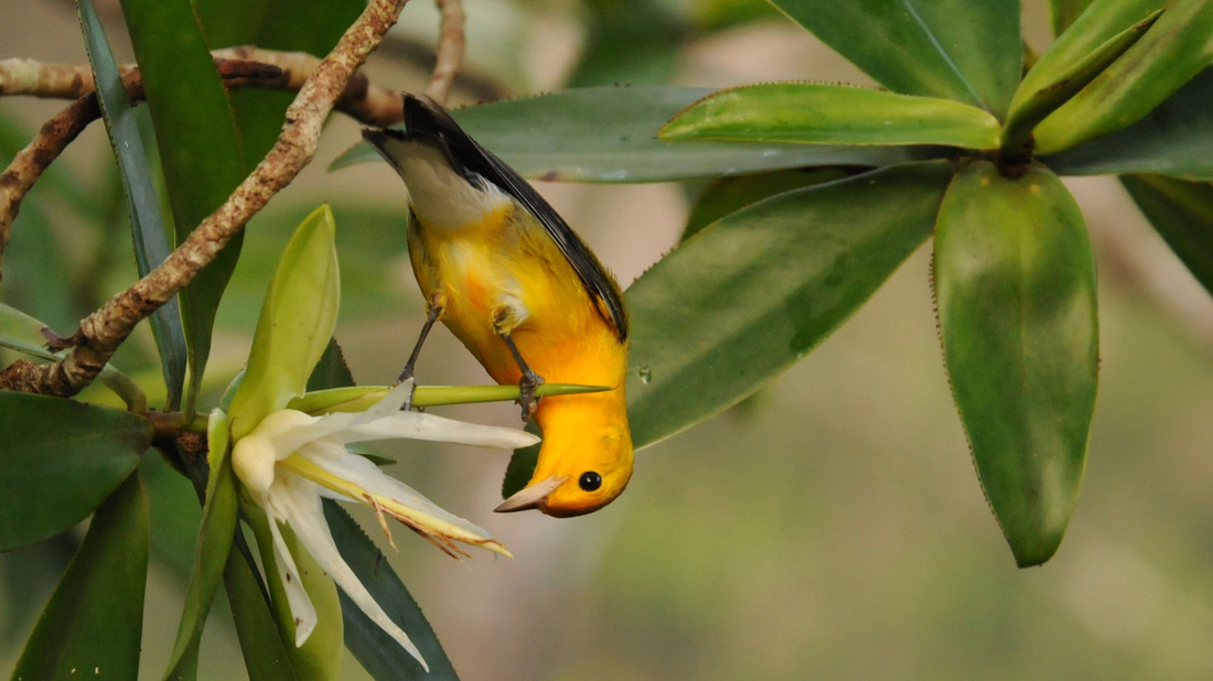 Male Prothonotary Warbler sipping nectar from Tea Mangrove flower © Tyler Christensen