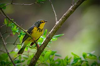 Canada Warbler ©Tyler Christensen