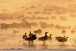 Geese on ice © Tyler Christensen
