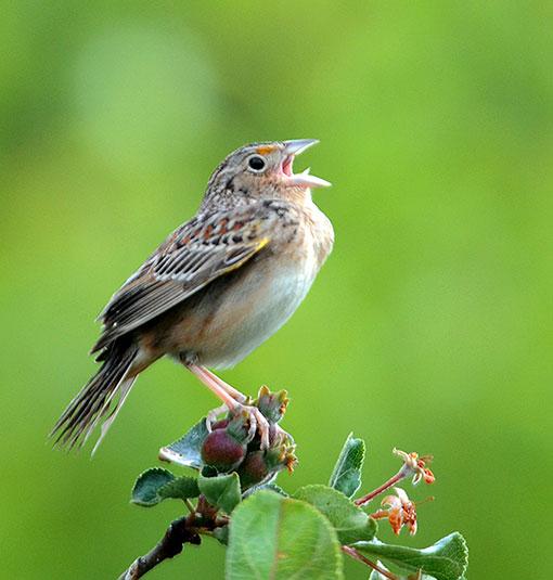 Grasshopper Sparrow © Tyler Christensen