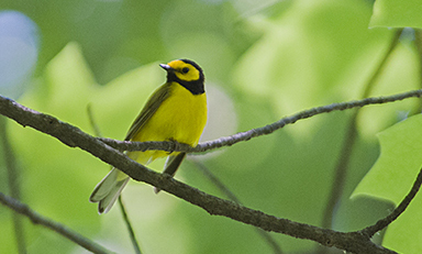 Hooded Warbler at Baldpate © Tyler Christensen