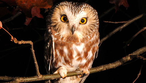 Northern Saw-whet Owl © Tyler Christensen
