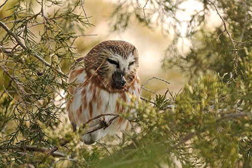 Northern Saw-whet Owl expelling a pellet