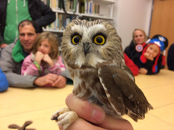 Northern Saw-whet Owl Banding at Stony-Brook Millstone Watershed Association © Tyler Christensen