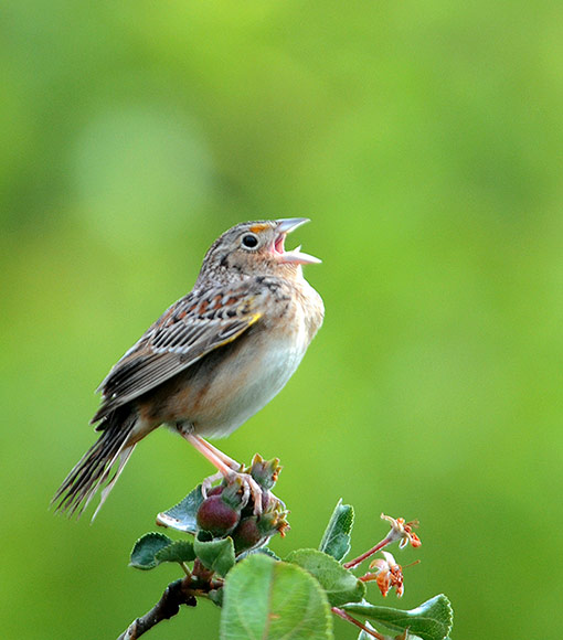 Grasshopper Sparrow NJ State Threatened grassland bird