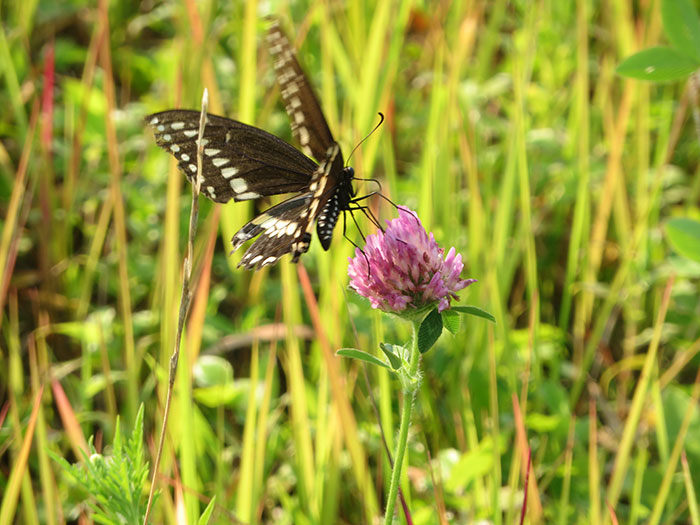 Black Swallowtail © Fairfax Hutter