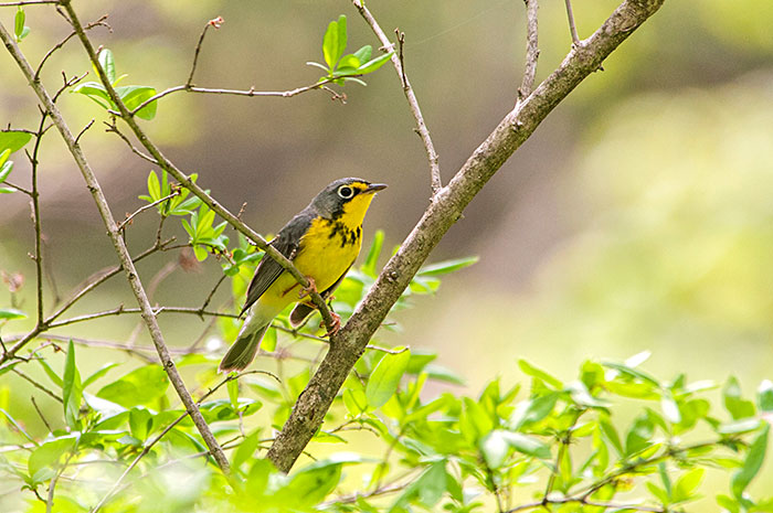 Canada Warbler © Tyler Christensen