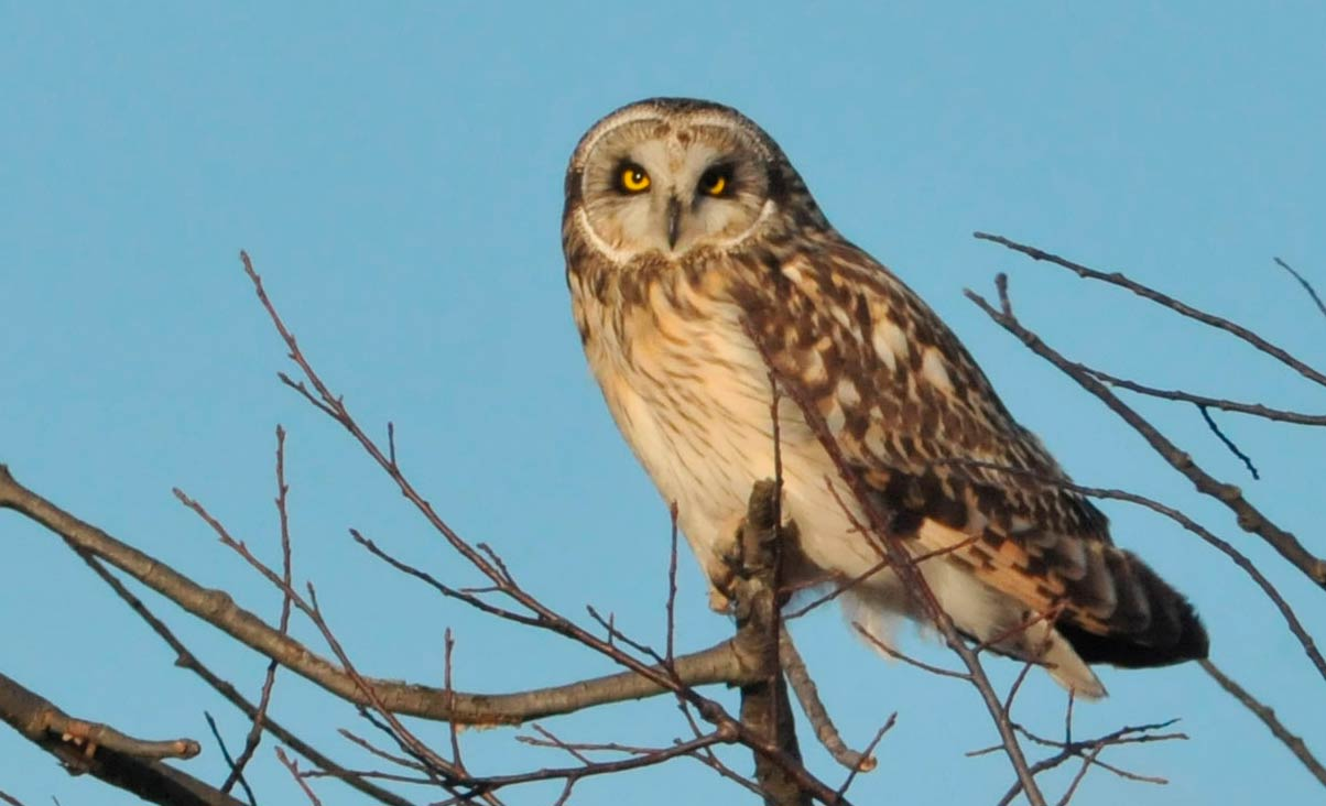 Short-eared Owl at the Pole Farm Federal City Road side © Sharyn Magee