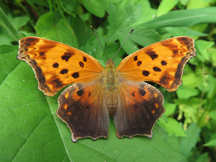 Eastern Comma © Fairfax Hutter