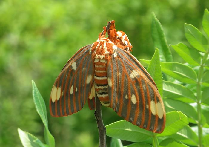Regal moths (Citheronia regalis) mating © Fairfax Hutter