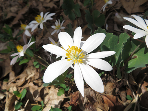 "Bloodroot, one of the first ""Spring ephemerals"" to bloom © Fairfax Hutter"