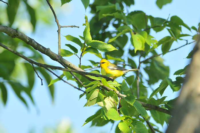 Blue-wing Warbler breeds at Baldpate © Sharyn Magee