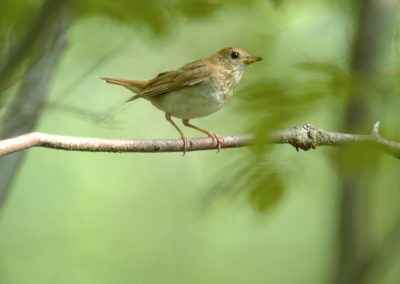 Veery at Baldpate © Sharyn Magee