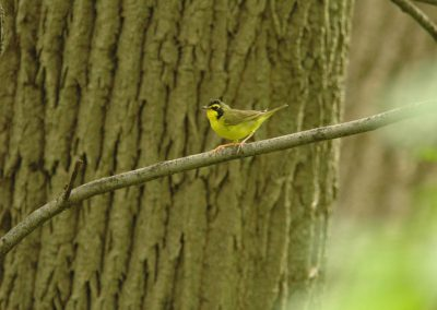 Kentucky Warbler at Baldpate © Sharyn Magee
