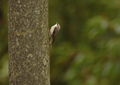 Brown Creeper © S. Magee