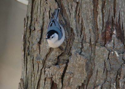 White-breasted Nuthatch © S. Magee