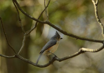 Tufted Titmouse © S. Magee