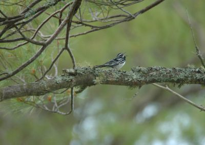 Black-and-white Warbler © S. Magee