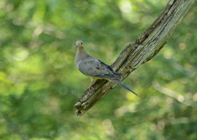 Mourning Dove © S. Magee