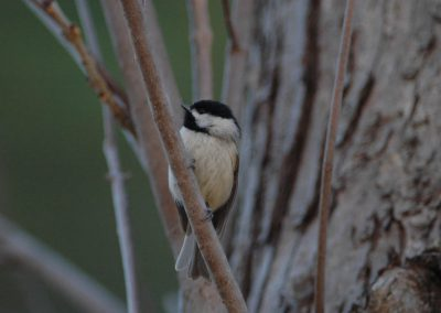 Hybrid Carolina/Black-capped Chickadee © S. Magee