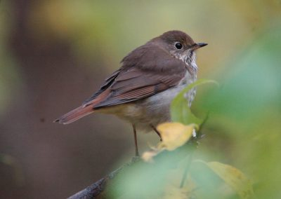 Hermit Thrush at Baldpate