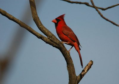 Northern Cardinal at Baldpate