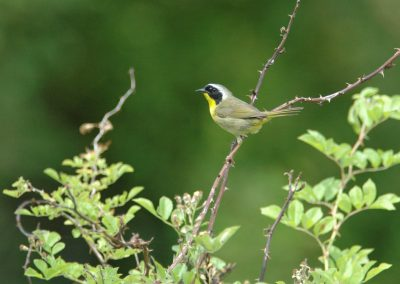 Common Yellowthroat © S. Magee