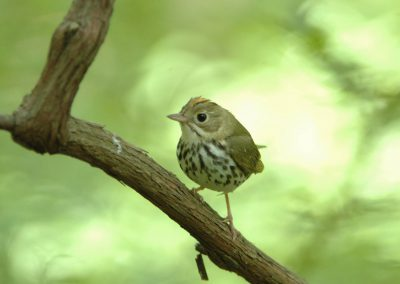 Ovenbird at Baldpate © Sharyn Magee