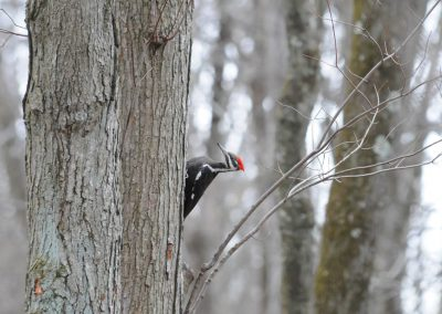 Pileated Woodpecker © S. Magee