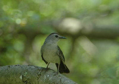 Gray Catbird at Baldpate © Sharyn Magee