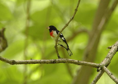 Rose-breasted Grosbeak © S. Magee