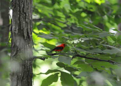 Scarlet Tanager at Baldpate