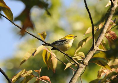 Black-throated Green Warbler © S. Magee