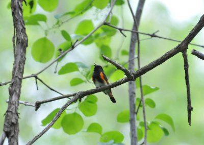 American Redstart © S. Magee