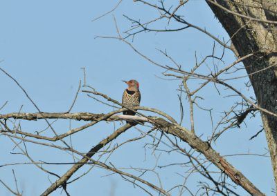 Yellow-shafted Flicker © S. Magee