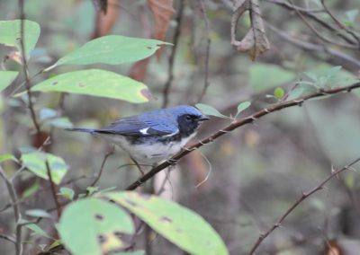 Black-throated Blue Warbler male © S. Magee