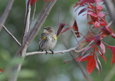 Myrtle Warbler (Yellow-Rumped) © S. Magee