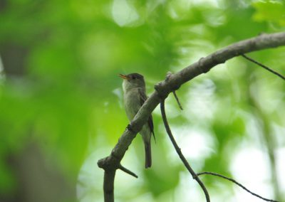 Eastern Wood-Pewee © S. Magee