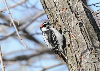 Downy Woodpecker © S. Magee