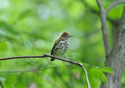 Wood Thrush © S. Magee
