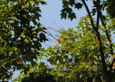 Summer Tanager © S. Magee