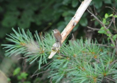House Wren at Baldpate © Sharyn Magee