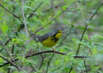 Canada Warbler © S. Magee