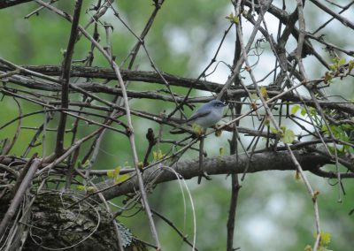 Blue-gray Gnatcatcher © S. Magee