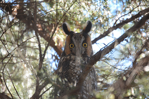 Long-eared Owl NJ State Threatened © Sharyn Magee