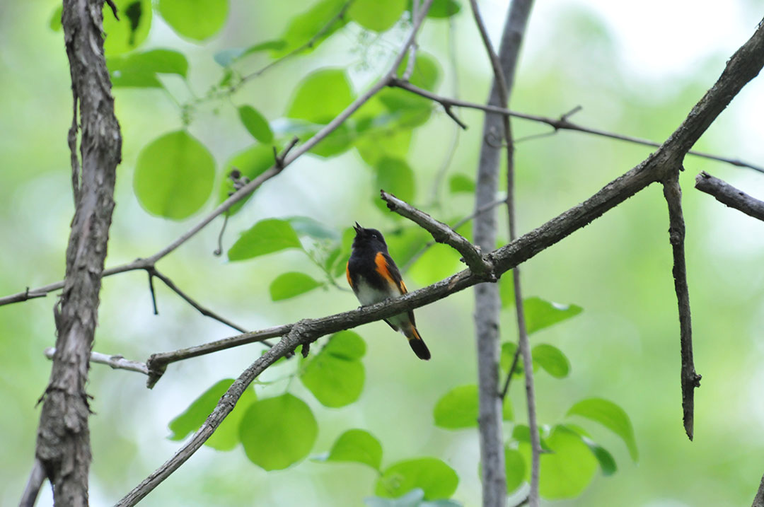 American Redstart territorial singing © Sharyn Magee