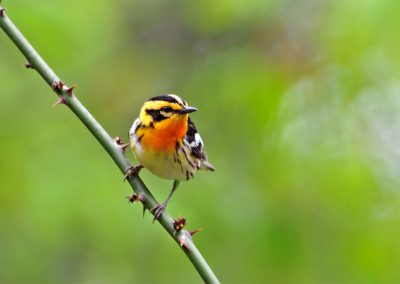 Migrating Blackburnian Warblers use Baldpate as stop over habitat