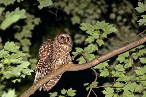 NJ State Threatened Barred Owl Sourlands © Tyler Christensen