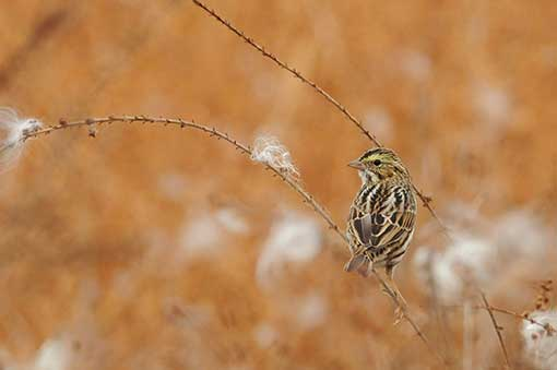 Savannah Sparrow © Tyler Christensen