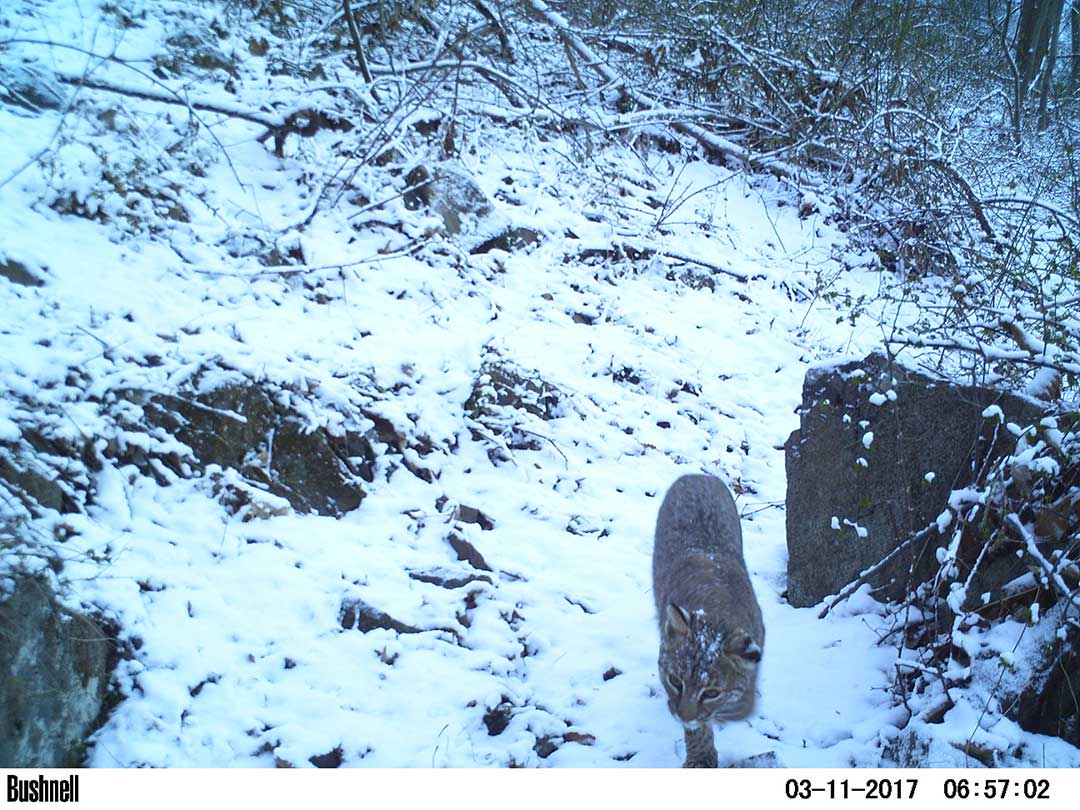 Bobcat near PennEast Pipeline route